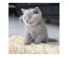 british shorthair kittens for sale near me