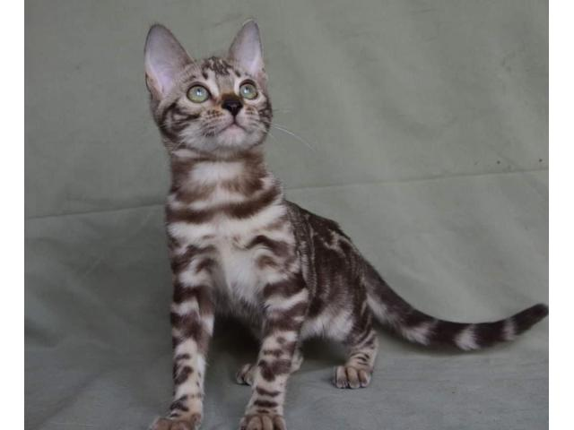 bengal cat for adoption