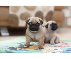 Well Home Trained Pugs Puppies