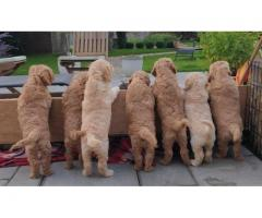 ASTONISHING GOLDENDOODLE PUPPIES FOR SALE