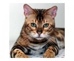 Buy Kittens for Sales Online in USA