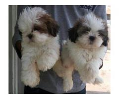 ADORABLE MALE AND FEMALE SHIH TZU PUPPIES FOR SALE