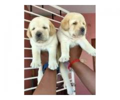 AMAZING AND VACCINATED LABRADOR PUPPIES READY TO MOVE