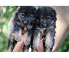 BEAUTIFUL AND KCI REGISTERED GERMAN SHEPHERD PUPPIES AVAILABLE NOW