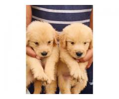 CUTE KCI AND VACCINATED GOLDEN RETRIEVER PUPPIES FOR SALE BOTH MALE AND FEMALE AVAILABLE