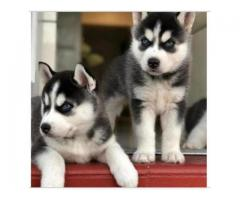 WONDERFUL AND VACCINATED SIBERIAN HUSKY PUPPIES FOR SALE