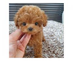Gorgeous toy poodle puppies for sale
